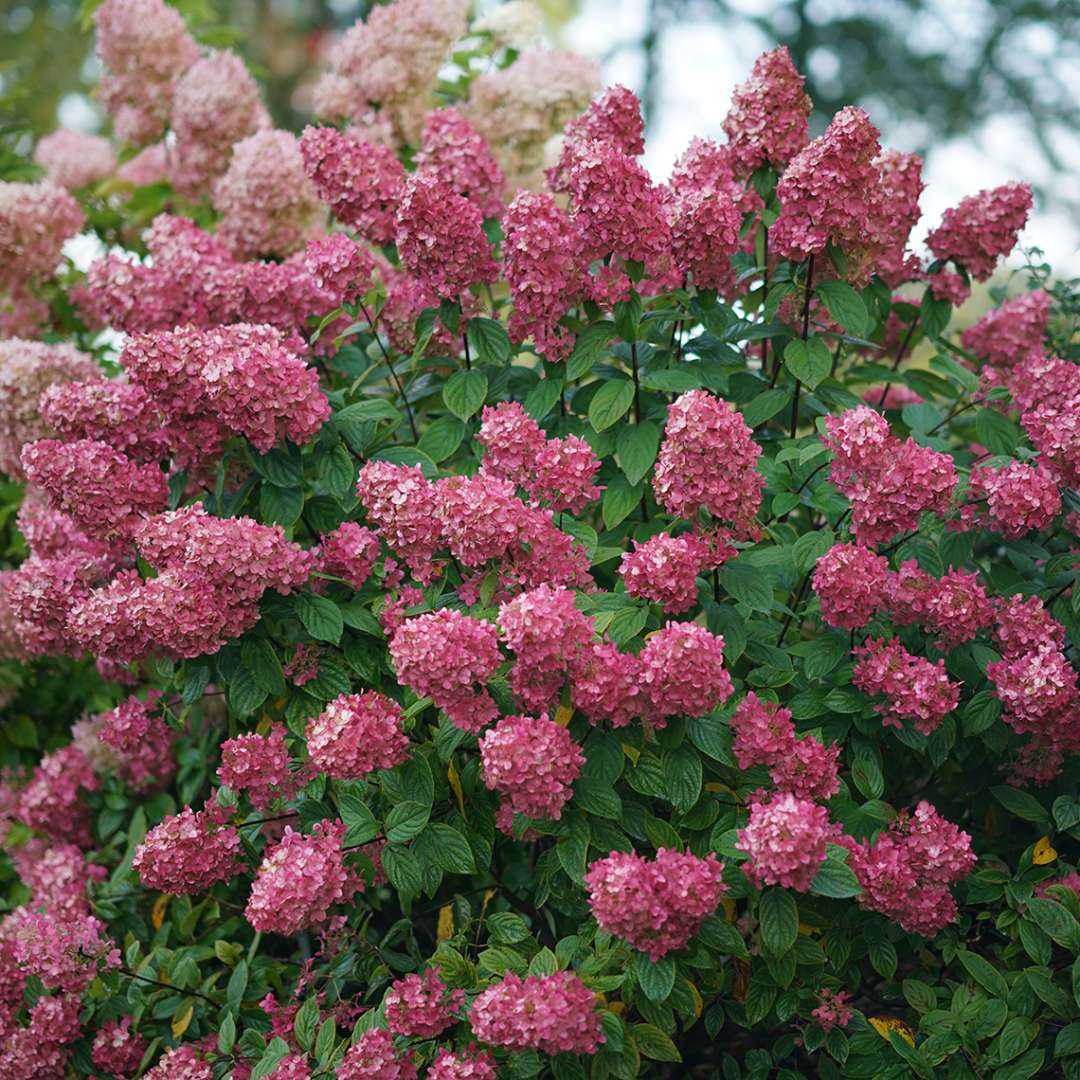A specimen of Fire Light panicle hydrangea positively smothered in large red mophead blooms