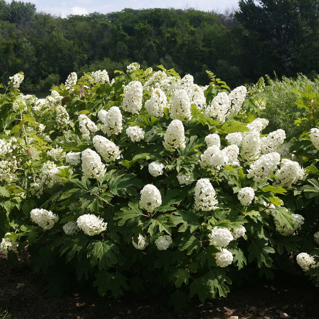 A specimen of Gatsby Gal hydrangea blooming in a landscape showing its rounded semi dwarf habit