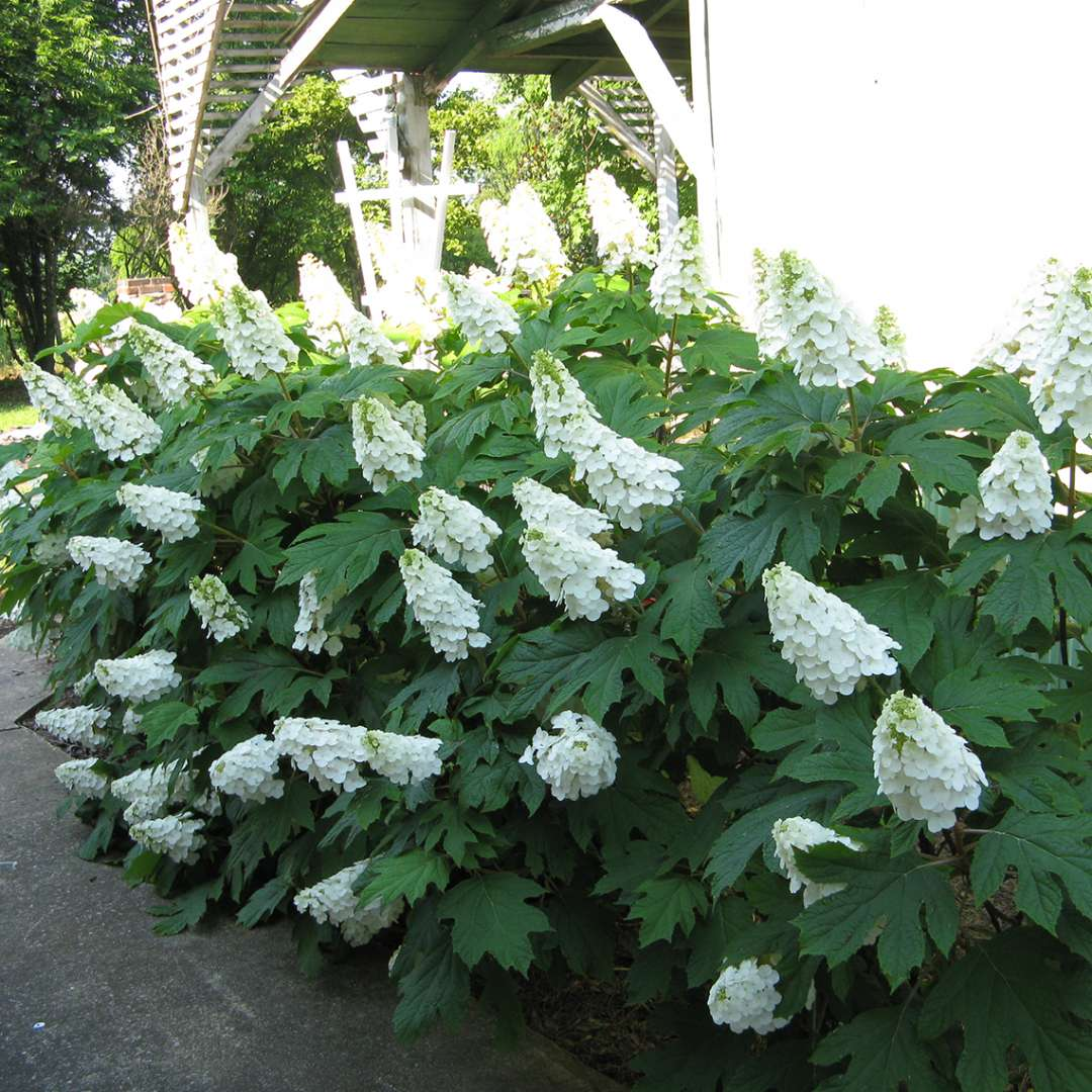 A few specimens of Gatsby Gal oakleaf hydrangea bloomins in a bed next to a walkway