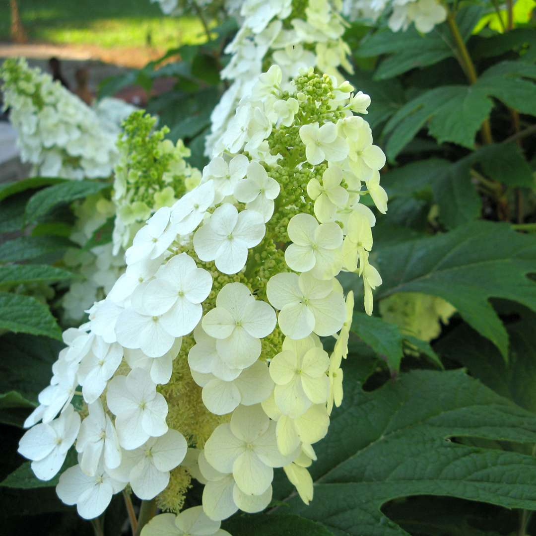 Closeup of a white lacecap bloom on Gatsby Gal oakleaf hydrangea