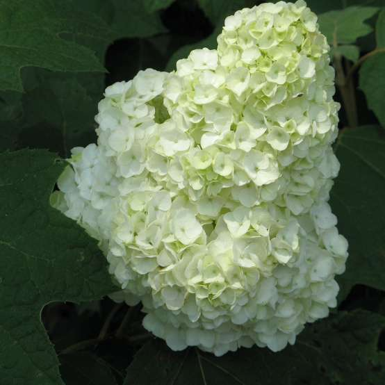 The very large full mophead bloom of Gatsby Moon oakleaf hydrangea is white