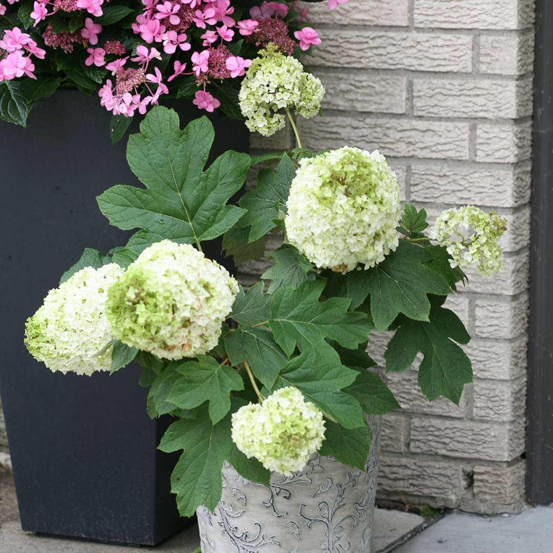 A small specimen of Gatsby Moon oakleaf hydrangea in a decorative container in front of a brick home