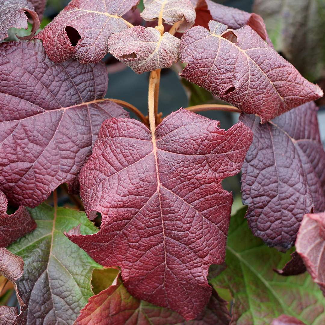 The outstanding red and burgundy fall color of Gatsby Moon oakleaf hydrangea