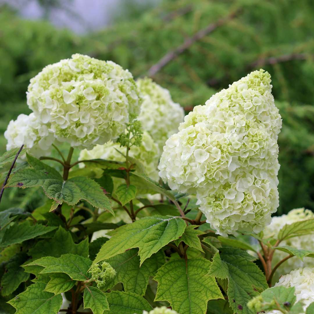 Gatsby Moon oakleaf hydrangea flaunting its large fluffy white mophead blooms in the landscape