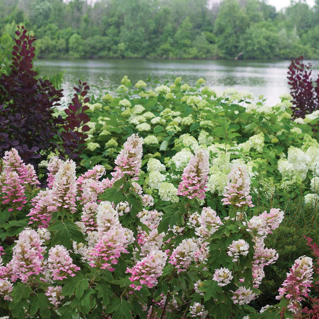 Gatsby Pink oakleaf hydrangea beginign to take on pink flower color in the landscape with the Grand River behind it