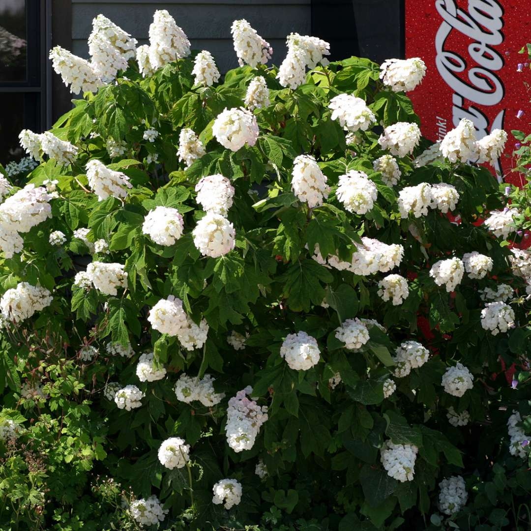 Gatsby Pink oakleaf hydrangea in full bloom with white flowers and a red coca cola machine behind it