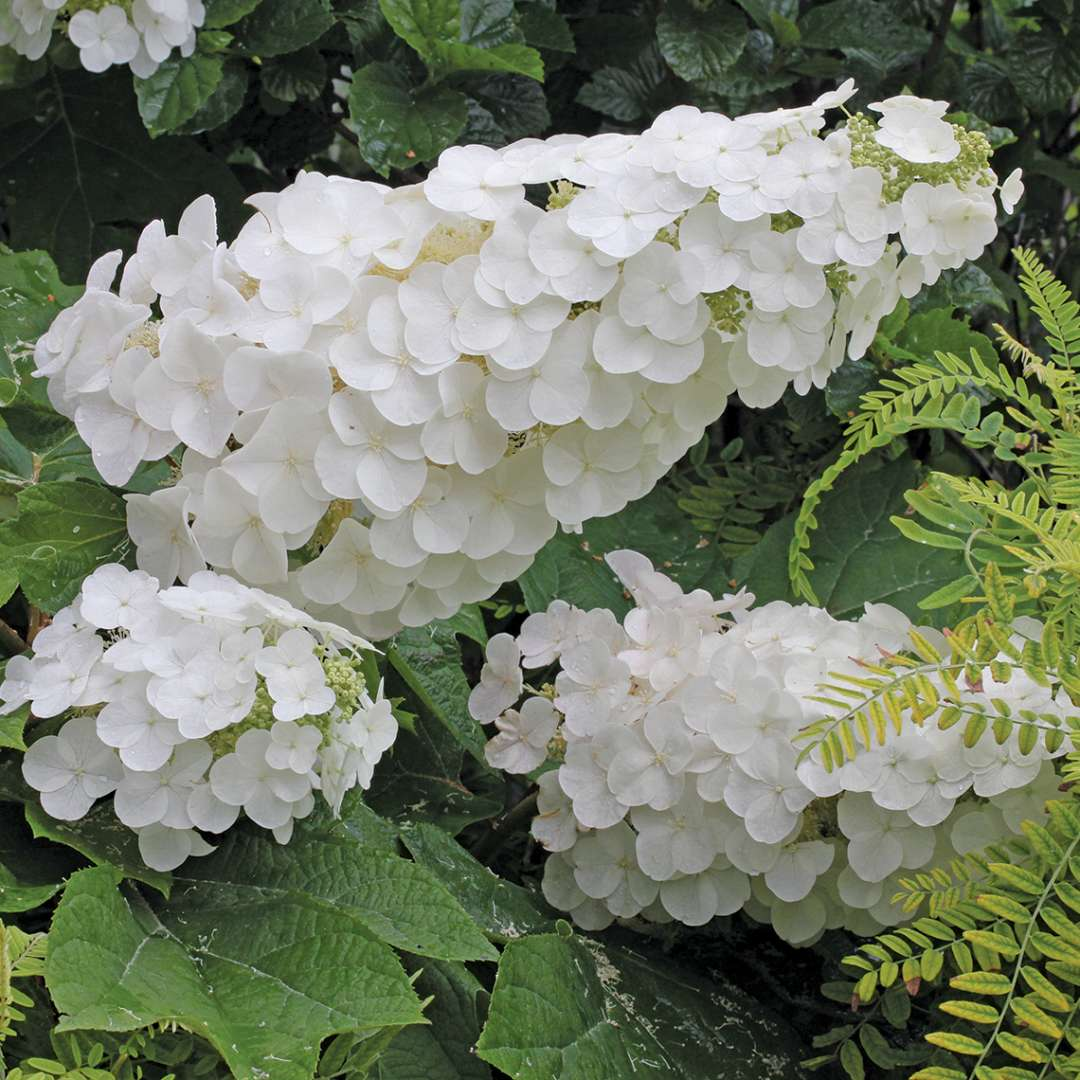 Closeup of the white phase of Gatsby Pink oakleaf hydrangea lacecap flowers