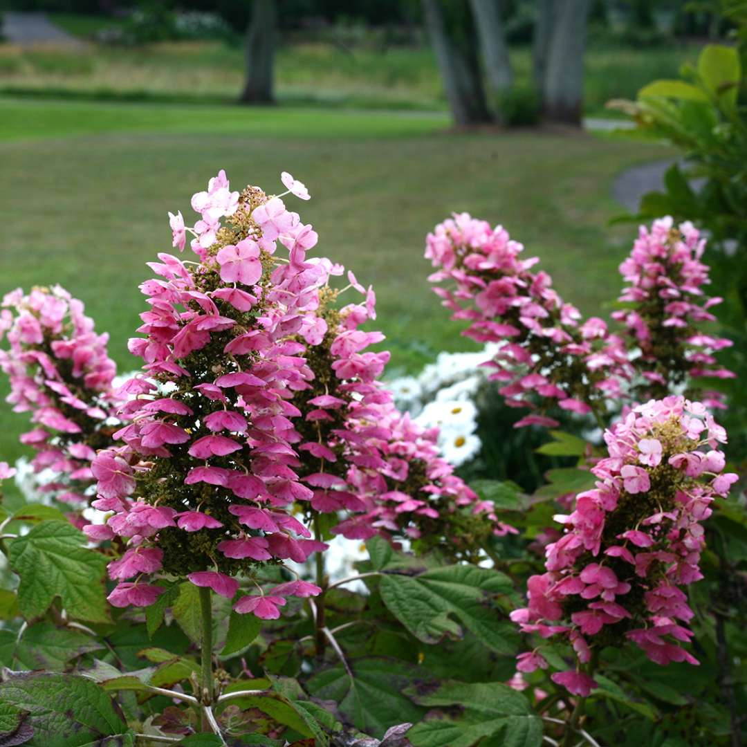 The deep pink phase of Gatsby Pink oakleaf hydrangea lacecap flowers