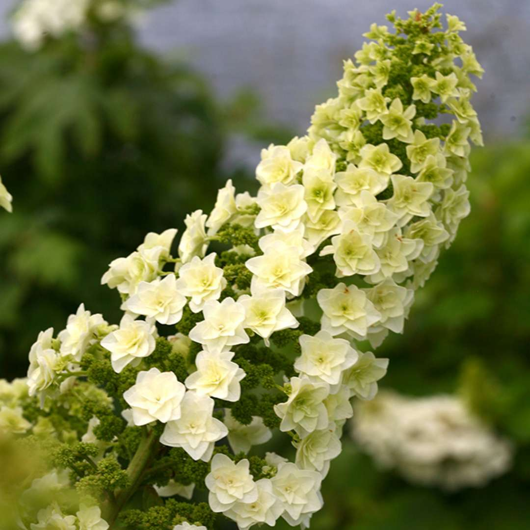 An inflorescence of Gatsby Star oakleaf hydrangea with its stacked double florets clearly visible