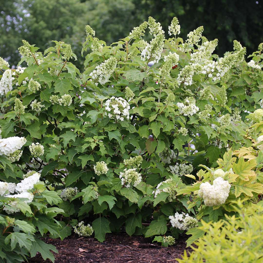 A specimen of Gatsby Star oakleaf hydrangea in the landscape just about to bloom