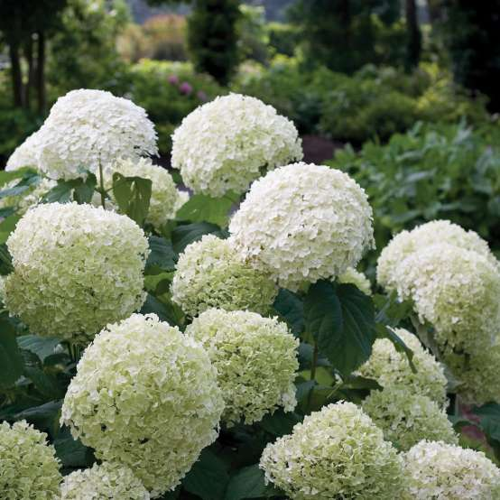 The very large white mophead blooms of Incrediball hydrangea