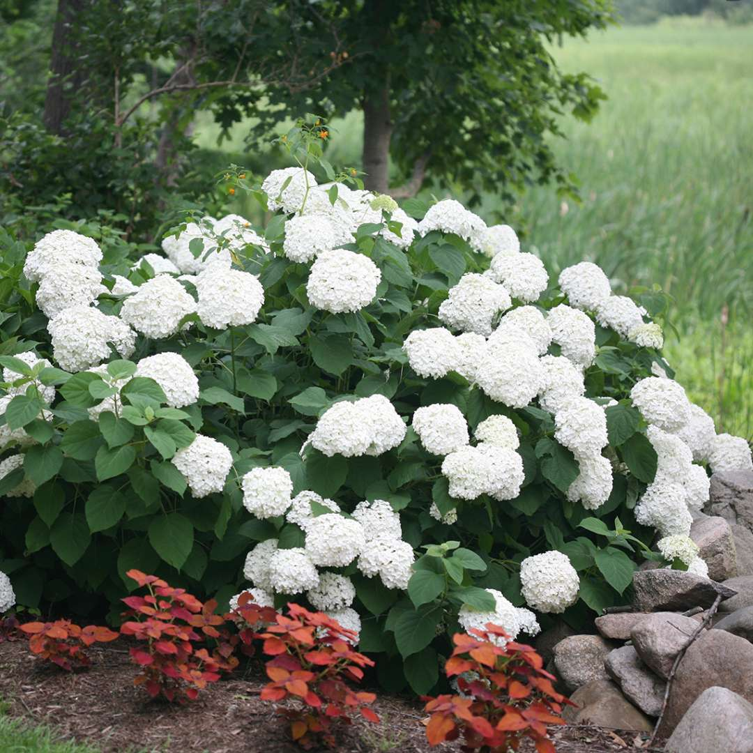 A specimen of Incrediball hydrangea covered in large white blooms