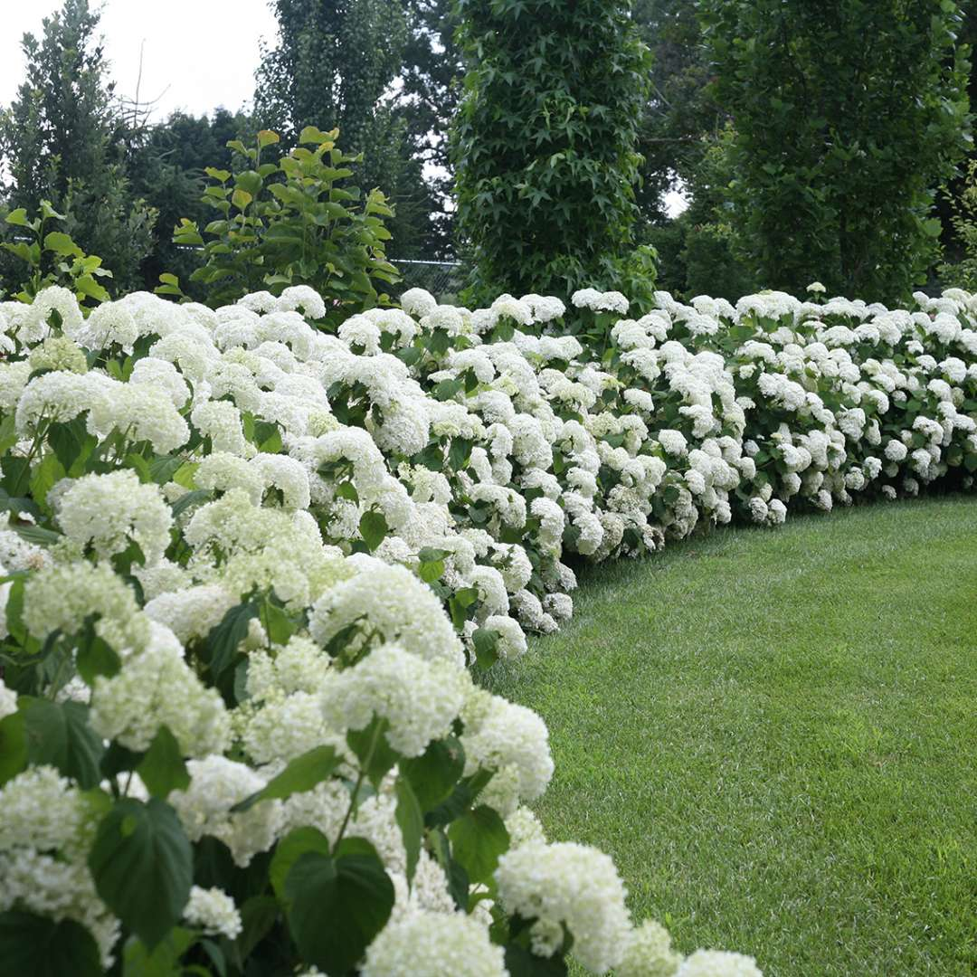 A curving hedge of several Incrediball hydrangea in full bloom in summer