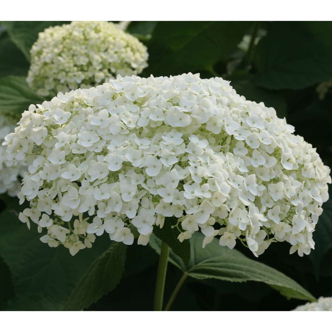 Closeup of a large bloom of Incrediball hydrangea