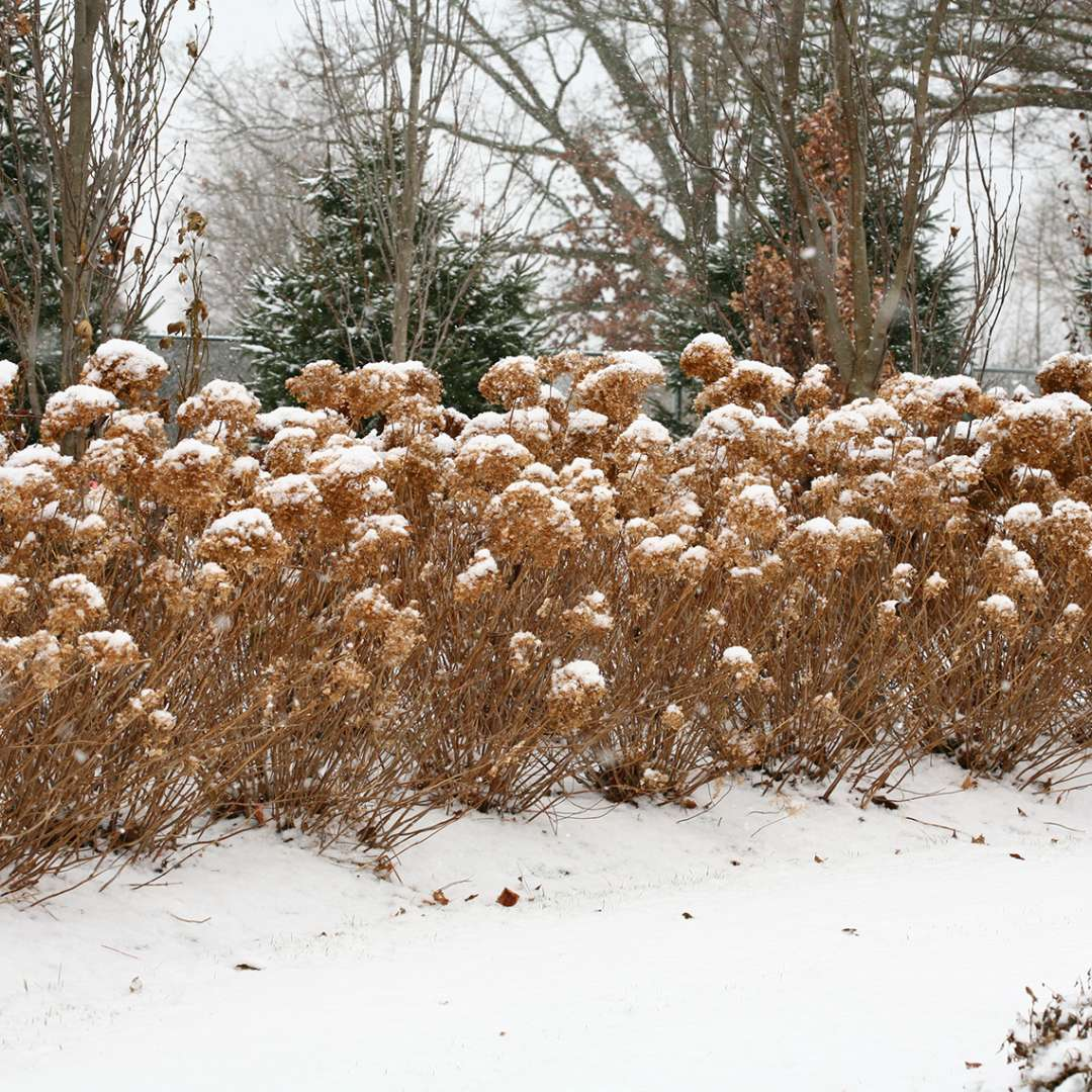 Incrediball hydrangea in winter all brown and dormant but clearly showing its strong upright stems