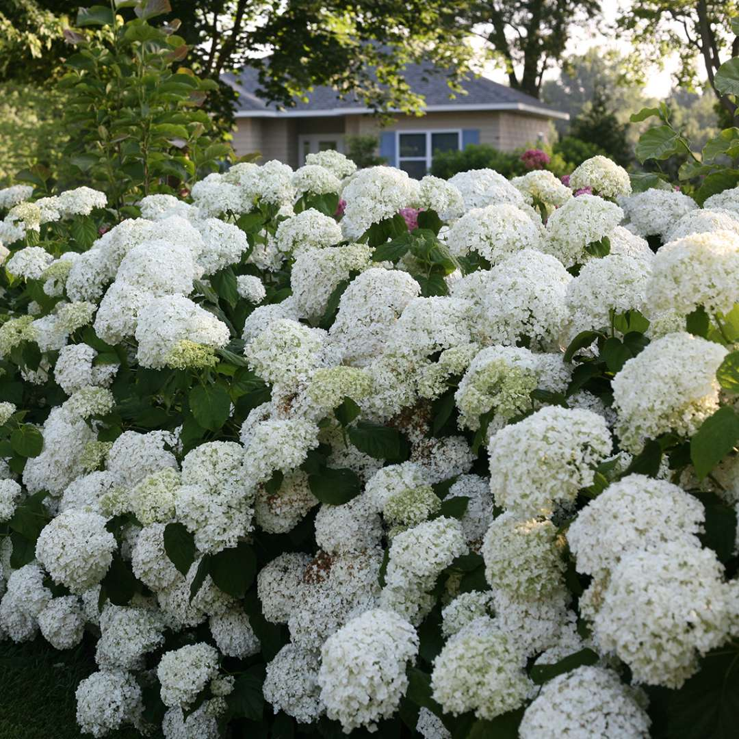 A very large specimen of Incrediball hydrangea covered in enormous white flowers with a yellow house with blue shutters in the background