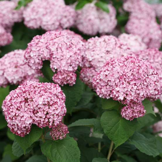 The beautiful silvery pink flowers of Incrediball Blush hydrangea