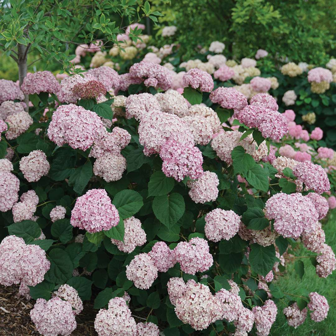 A specimen of Incrediball Blush hydrangea covered in large pink blooms
