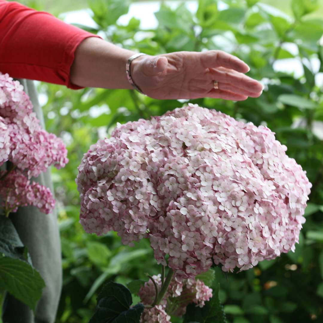 The very large pink mophead blooms of Incrediball Blush hydrangea with a hand for scale