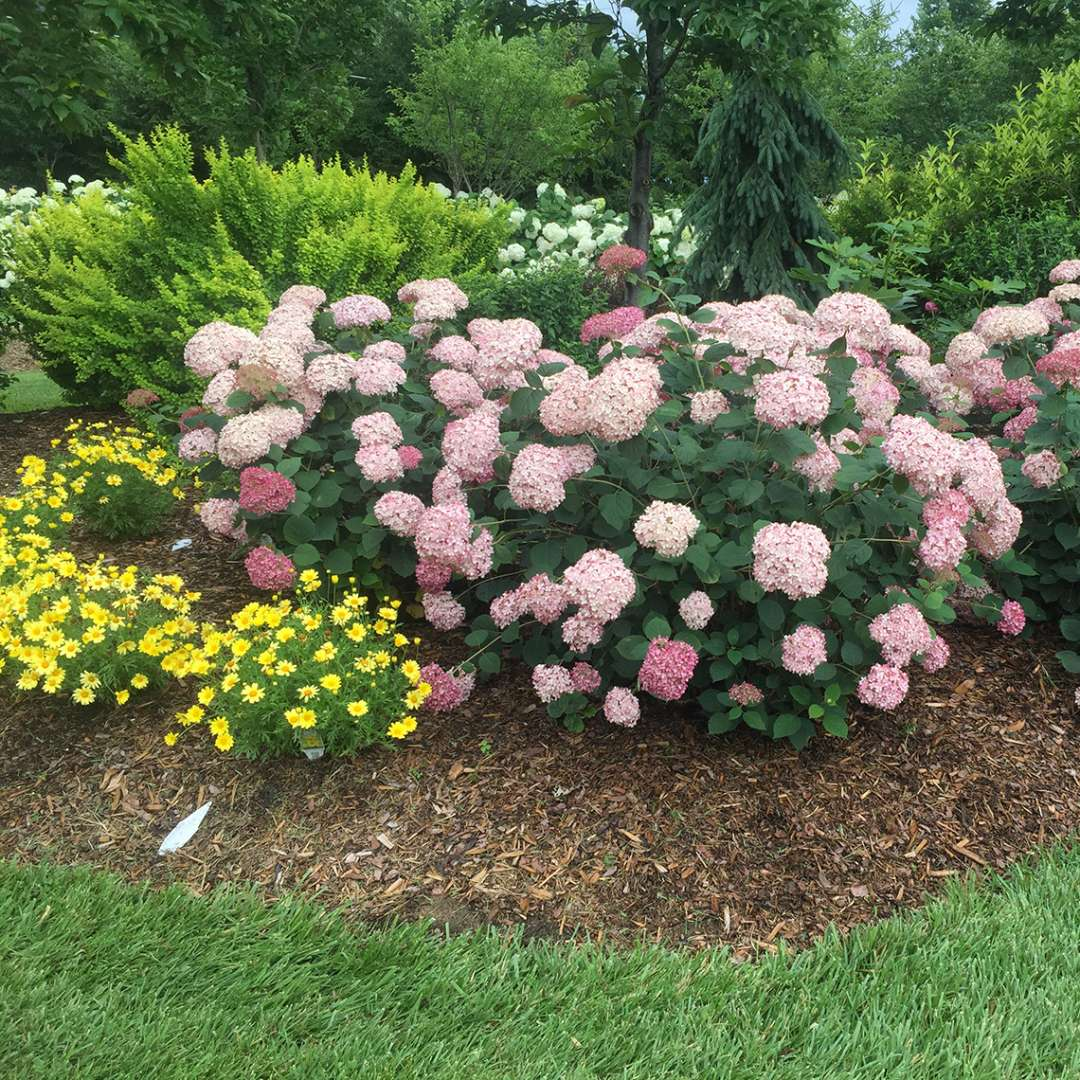 A specimen of Incrediball Blush hydrangea blooming in a landscape with yellow flowers below it
