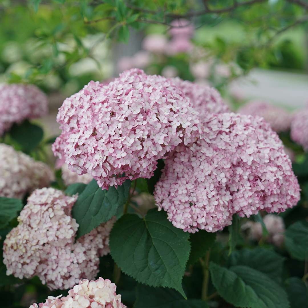 The large pink blooms of Incrediball Blush hydrangea contrasting with the deep blue-green foliage