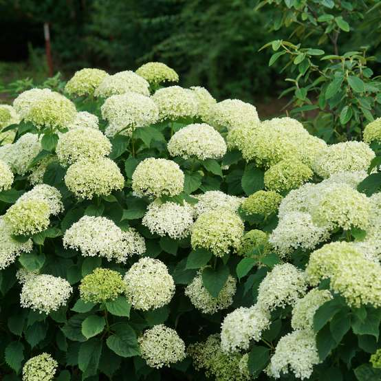Invincibelle Limetta hydrangea covered in snowball like green blooms