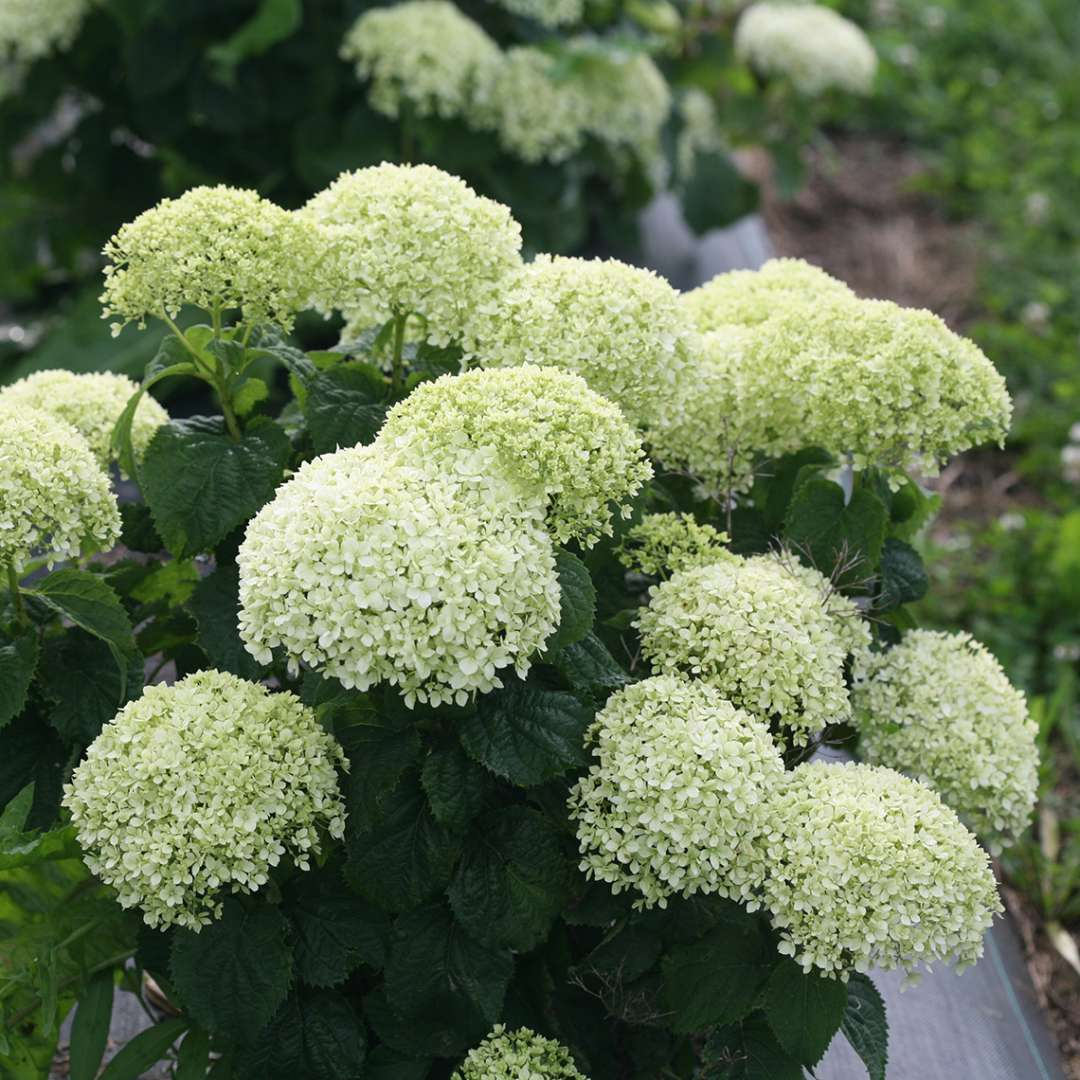 Closeup of the rounded green blooms of Invincibelle Limetta hydrangea