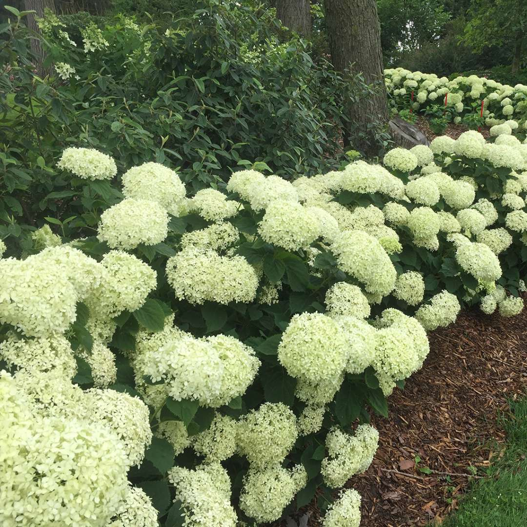A bed planted with several Invincibelle Limetta hydrangeas all of which are in bloom