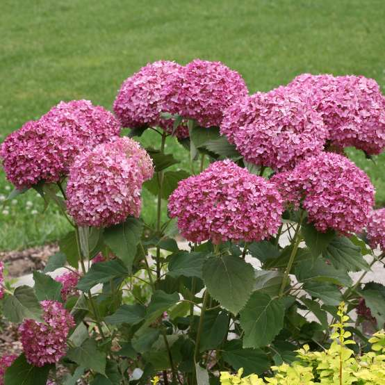 Large rounded deep pink purple blooms covering Invincibelle Mini Mauvette hydrangea