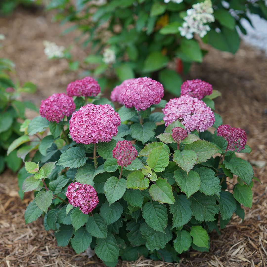 A single specimen of Invincibelle Mini Mauvette hydrangea showing its neat habit strong stems and deep purple blooms