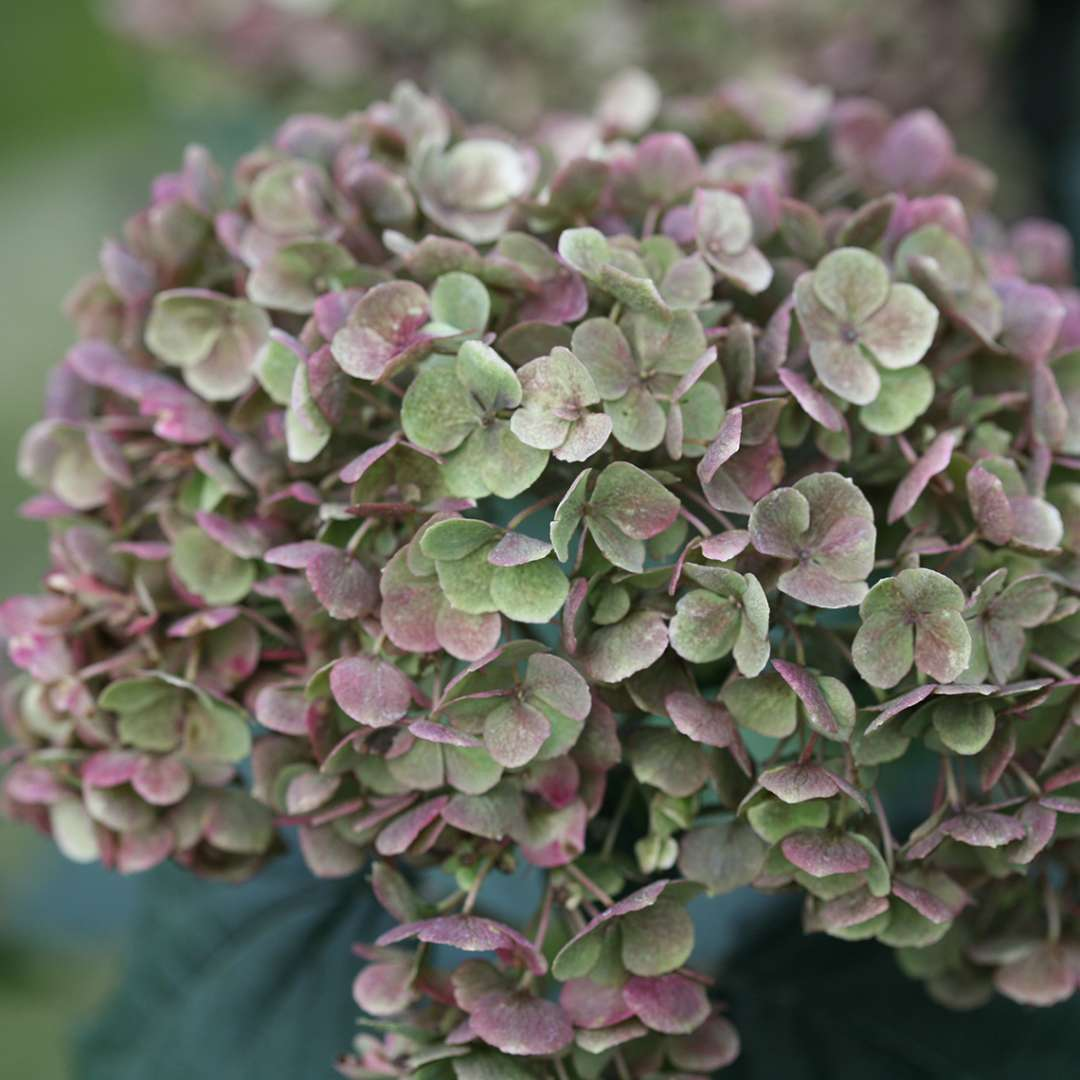 A bloom on Invincibelle Mini Mauvette hydrangea that is aging to a mix of mauve and deep green which sounds kind of awful but is actually quite pretty