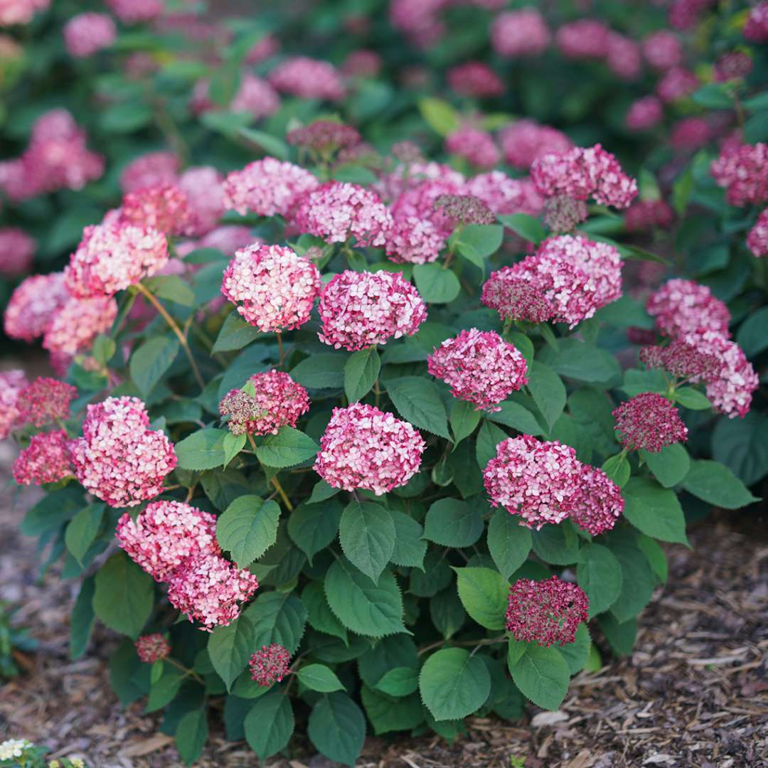 Invincibelle Ruby hydrangeea covered in deep pink blooms in the landscape