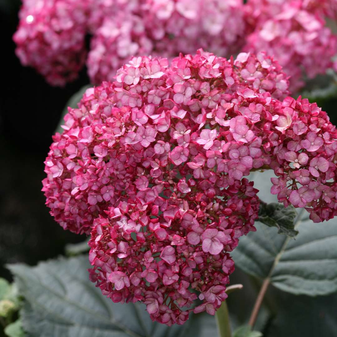 Closeup of the deep ruby pink blooms of Invincibelle Ruby hydrangea