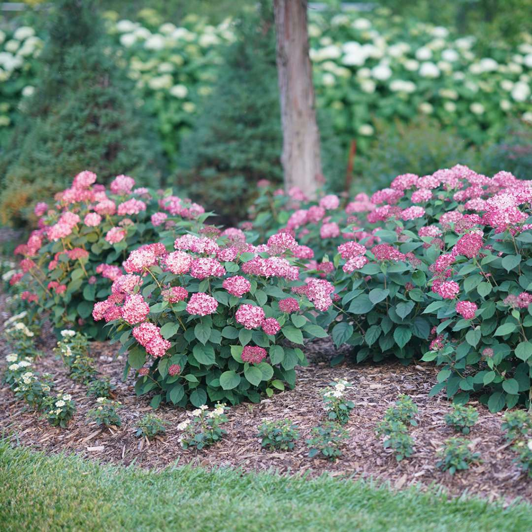 Four neatly rounded and abundantly blooming Invincibelle Ruby hydrangeas in the landscape