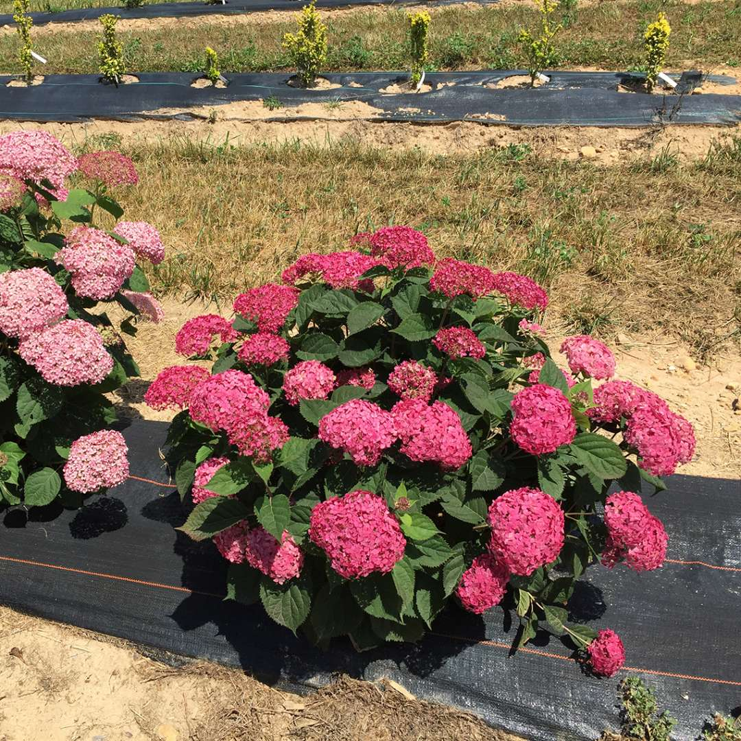 A deeply colorful specimen of Invincibelle Ruby hydrangea in a nursery field