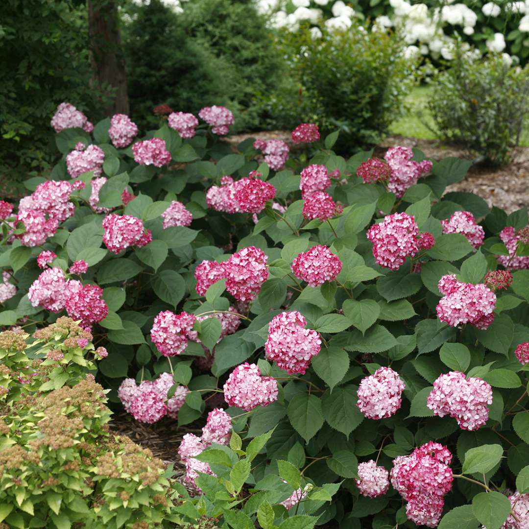 Two Invincibelle Ruby hydrangeas covered in pink blooms