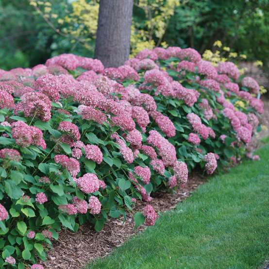 Several Invincibelle Spirit II hydrangeas blooming under a tree alongside a lawn