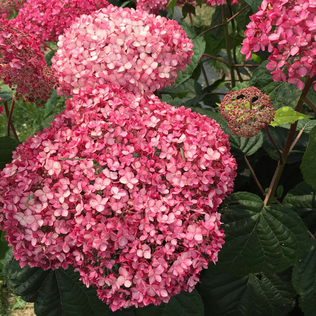 The deep pink blooms of Invincibelle Spirit II hydrangea
