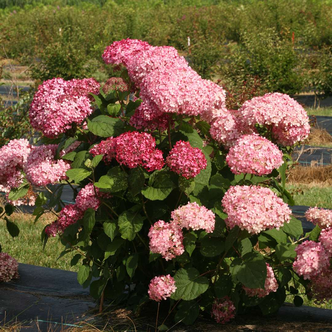 A single specimen of Invincibelle Spirit II hydrangea showing its pink blooms and strong stems