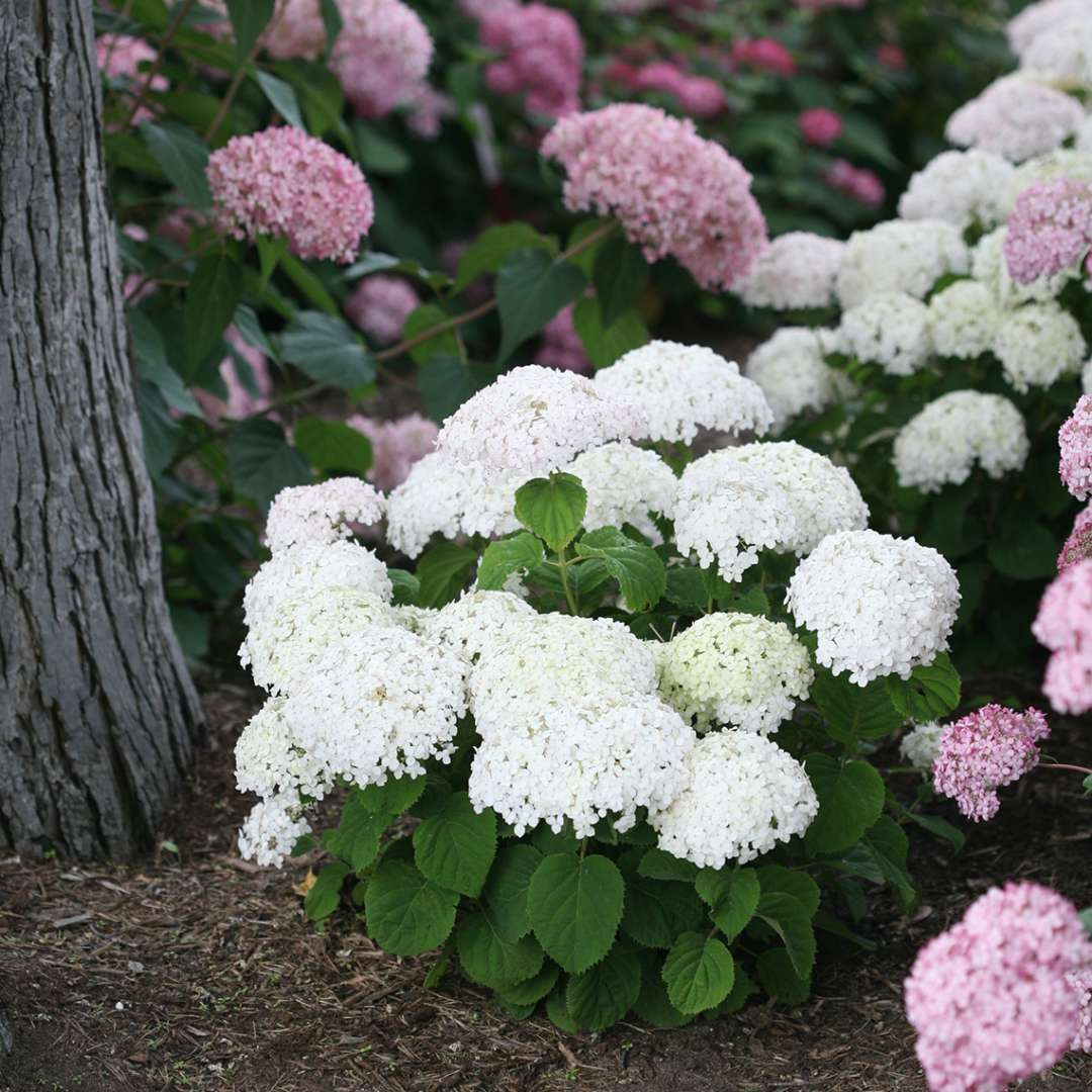 Invincibelle Wee White hydrangea blooming in the landscape showing its very dwarf rounded habit and abundant white blooms