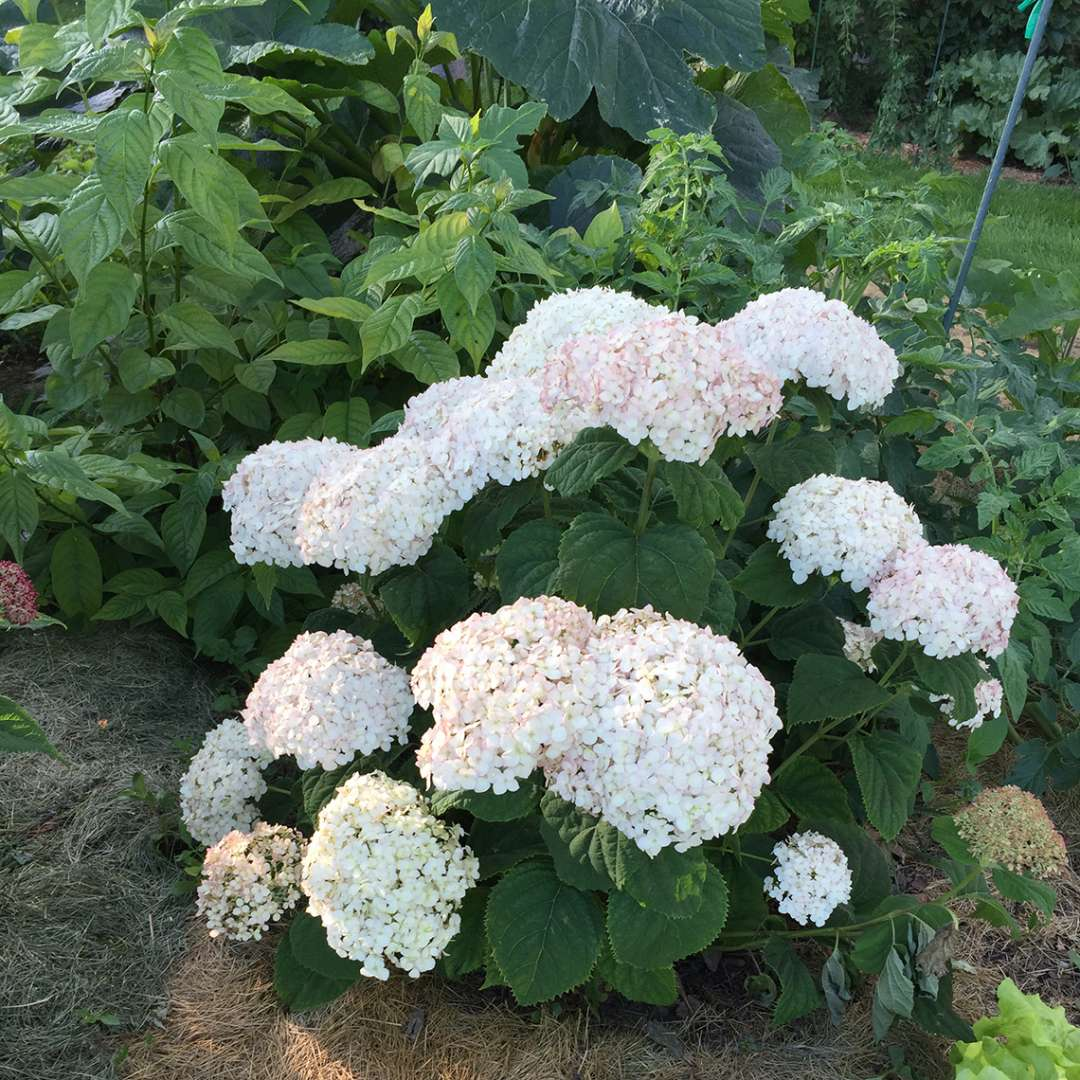 A specimen of Invincibelle Wee White hydrangea blooming in a vegetable garden