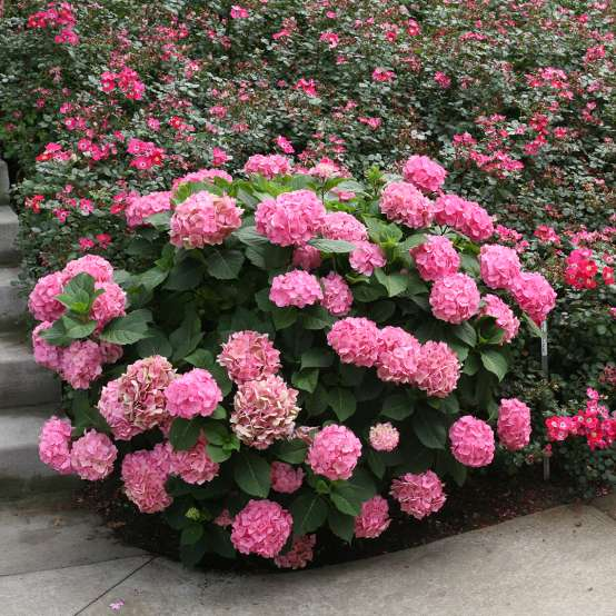 Lets Dance Big Easy hydrangea with many many pink blooms on it in front of a mass planting of roses