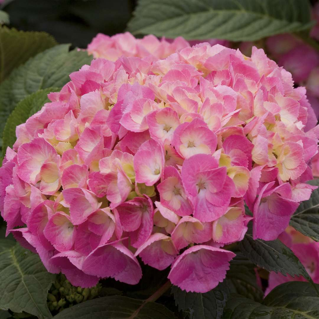 Closeup of the pink blooms of Lets Dance Big Easy hydrangea showing the creamy eye in the center of each floret