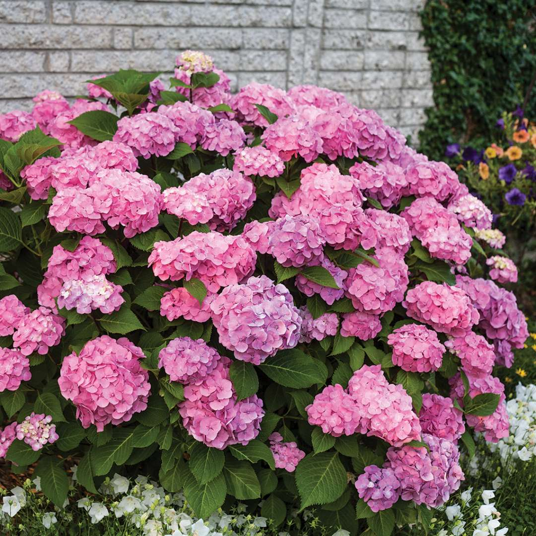 Lets Dance Big Easy hydrangea showing many pink and purple blooms