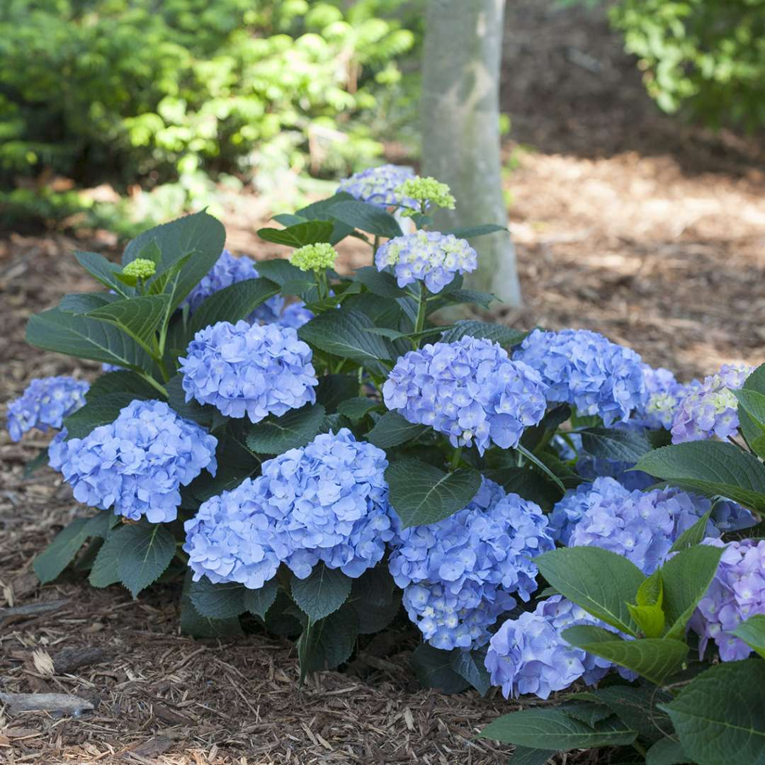 A specimen of Lets Dance Blue Jangles hydrangea with blue flowers and a compact habit