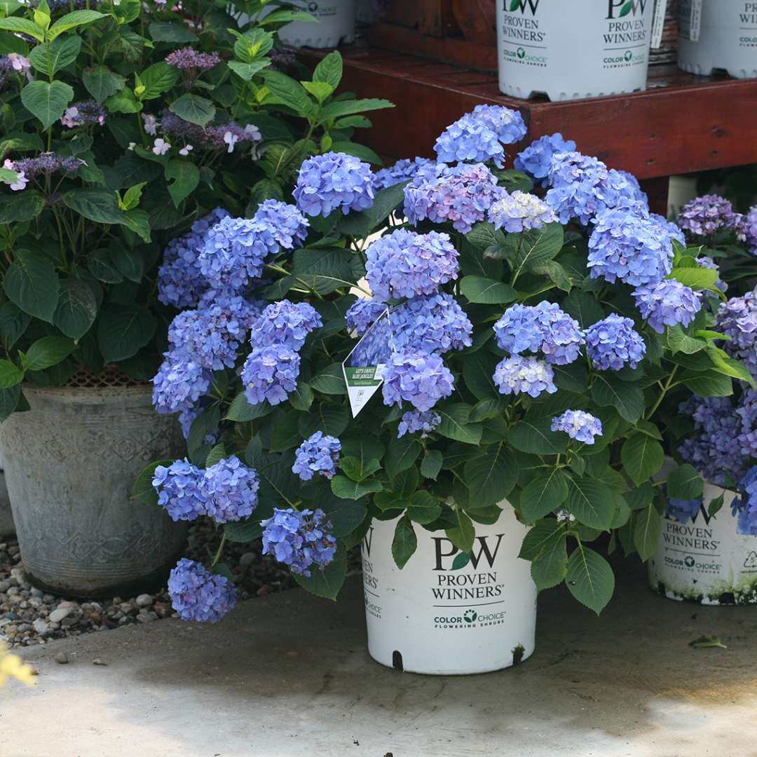 Lets Dance Blue Jangles hydrangea blooming in a white Proven Winners container