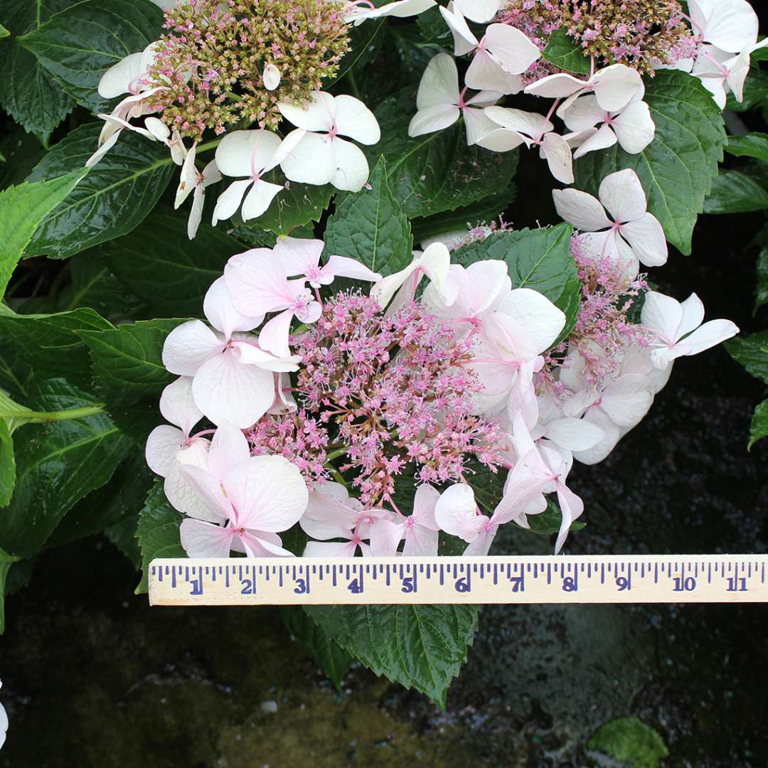 A pink lacecap bloom on Lets Dance Diva hydrangea with a yardstick showing how large it is and it measures over 8 inches diameter