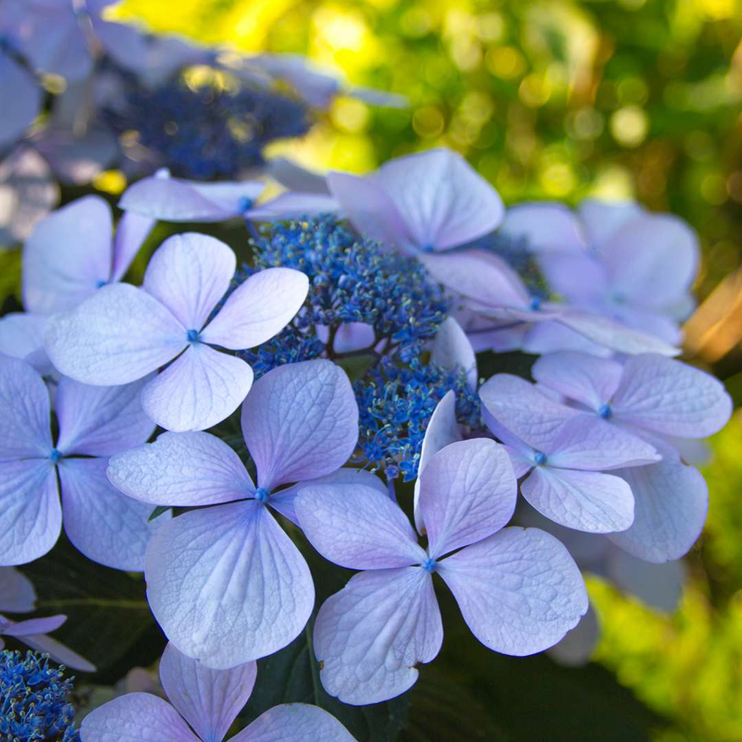 Lets Dance Diva hydrangea showing what it looks like when it takes on blue color
