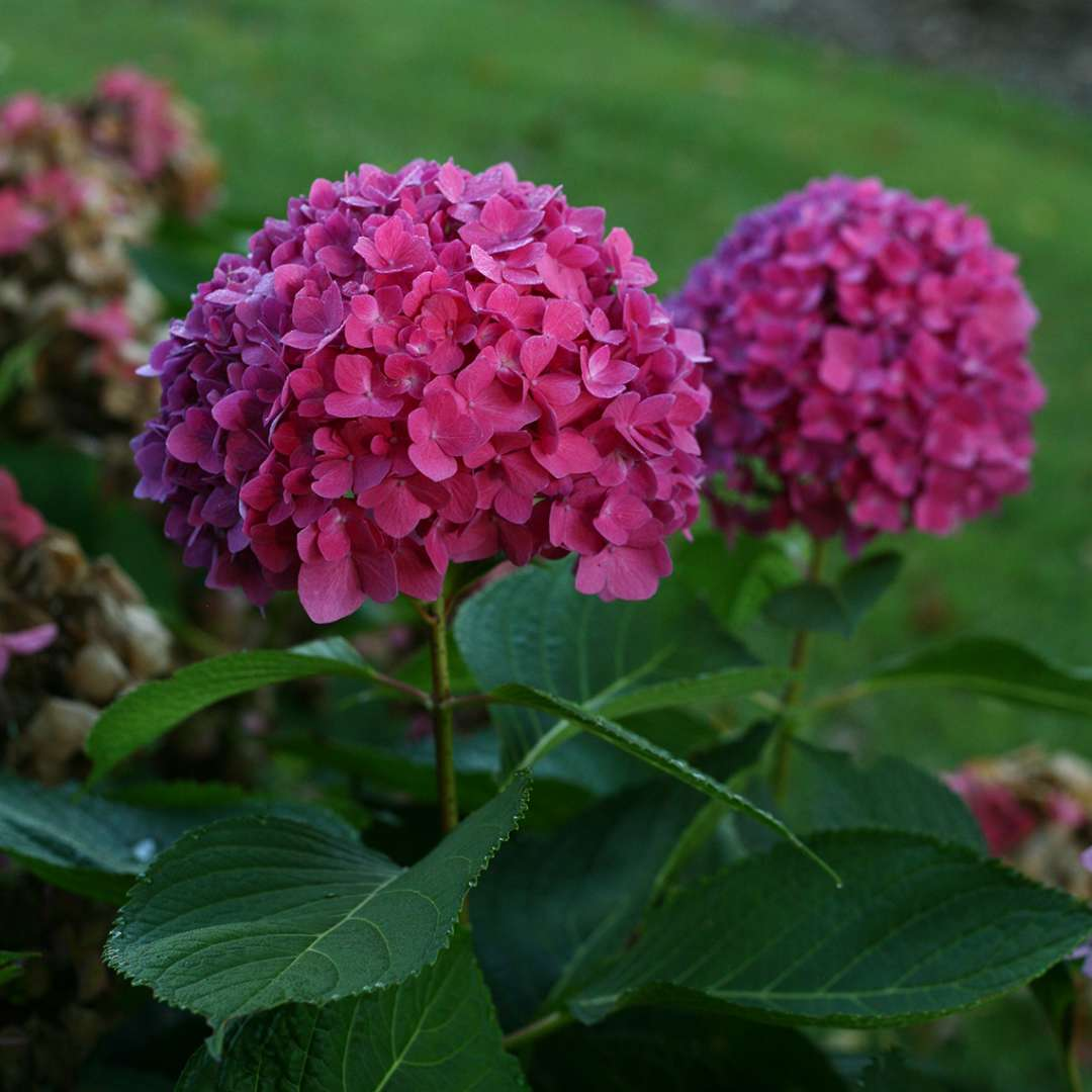 Closeup of two deep purple blooms on Lets Dance Rave hydrangea