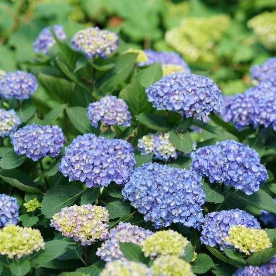 Lets Dance Rhythmic Blue hydrangea with several deep blue mophead blooms on it